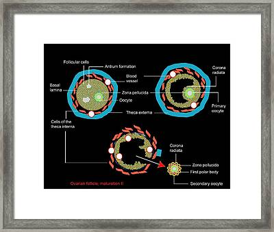 Ovarian Follicle Maturation, Artwork Framed Print by Francis Leroy, Biocosmos