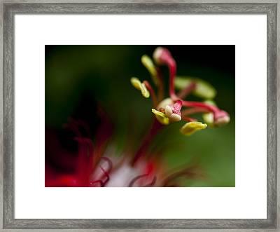 Passiflora Flower Framed Print by Zoe Ferrie