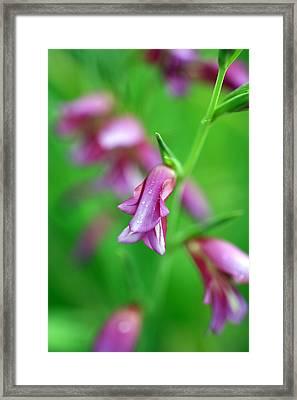 Pink Flowers Of Gladiolus Communis Framed Print by Frank Tschakert