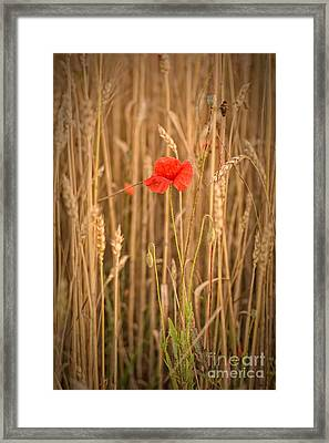 Poppy Framed Print by James Taylor