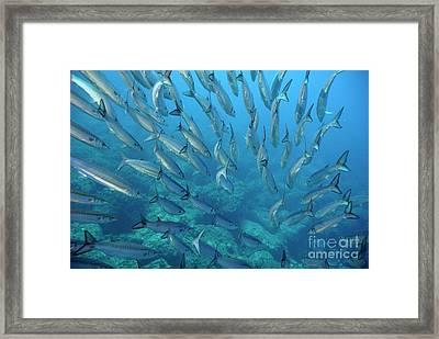 School Of Pelican Barracudas Framed Print by Sami Sarkis