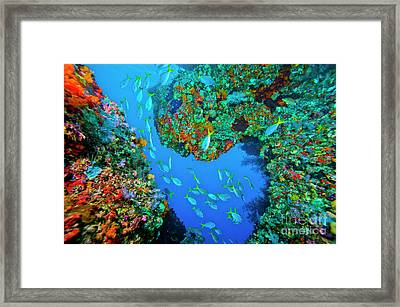 School Of Yellowtail Fusilier, Raja Framed Print by Beverly Factor