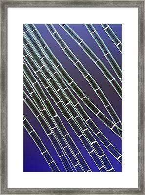 Spirogyra Algae, Light Micrograph Framed Print by Jerzy Gubernator