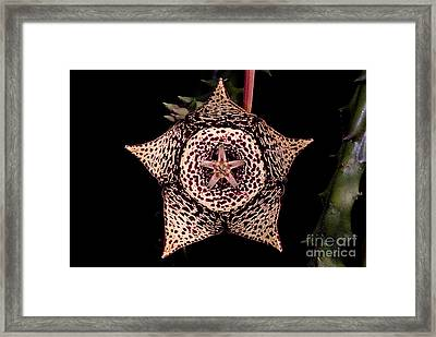 Stapelia Flower Framed Print by Dant� Fenolio
