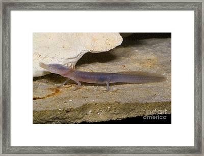 Texas Blind Salamander Framed Print by Dante Fenolio