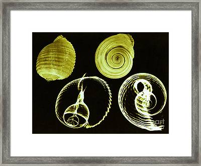 Tun Shell X-ray Framed Print by Photo Researchers