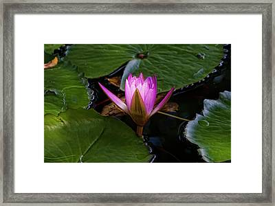 Water Lily Framed Print by Robert Ullmann