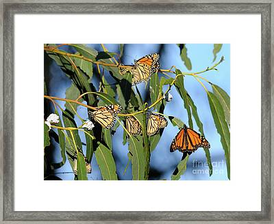 Butterflies Framed Print by Marc Bittan