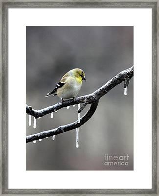 American Goldfinch Framed Print by Jack R Brock