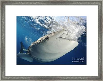 Whale Shark Feeding Under Fishing Framed Print by Steve Jones