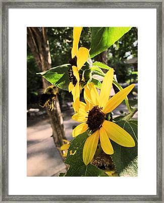 Bee And Sunflower  Framed Print by Jon Baldwin  Art