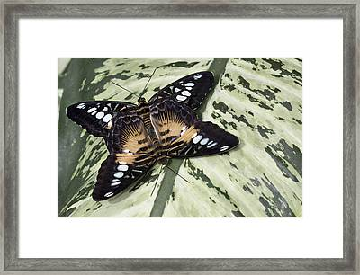 Butterfly Framed Print by Nick Mares