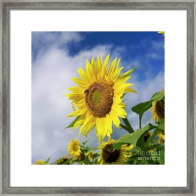 Close Up Of Sunflower Framed Print by Bernard Jaubert