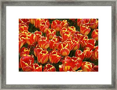 Flaming Tulips Framed Print by Michele Burgess