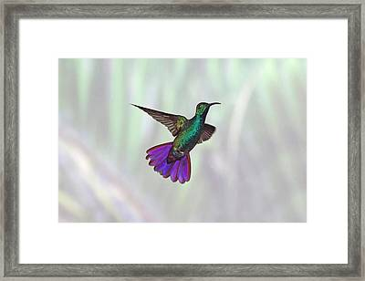 Hummingbird Framed Print by David Tipling