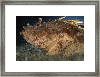 Large-scaled Scorpionfish Framed Print by Alexis Rosenfeld