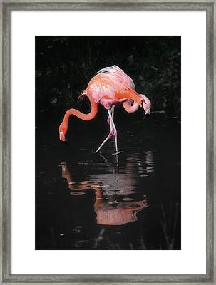 Pink Flamingos Framed Print by Naman Imagery