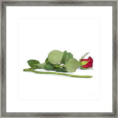 Red Tulip Framed Print by Bernard Jaubert