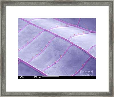 Sem Of Dragonfly Wing Framed Print by Ted Kinsman