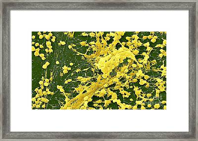Staphylococcus Biofilm Framed Print by Science Source