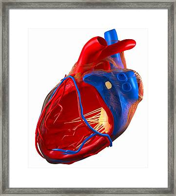 Structure Of A Human Heart, Artwork Framed Print by Roger Harris