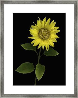 Sunflower Framed Print by Deddeda