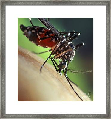 Asian Tiger Mosquito Framed Print by Science Source