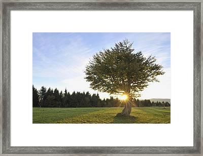 Beech Tree, Schauinsland, Black Forest, Baden-wurttemberg, Germany Framed Print by Raimund Linke