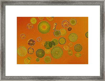 Close View Of Diatoms Framed Print by Darlyne A. Murawski