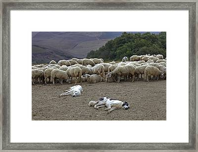 Flock Of Sheep Framed Print by Joana Kruse
