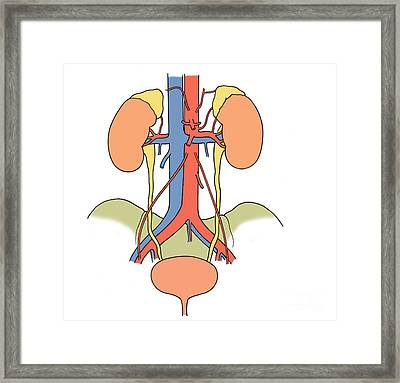 Illustration Of Urinary System Framed Print by Science Source