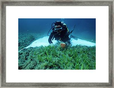 Invasive Seaweed Control Framed Print by Alexis Rosenfeld
