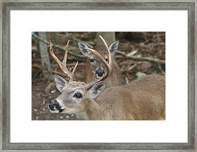 Key Deer Florida Framed Print by Valia Bradshaw