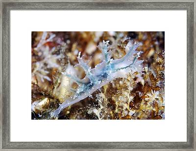 Nudibranch Framed Print by Alexander Semenov