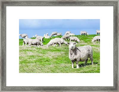 Sheeps Framed Print by MotHaiBaPhoto Prints