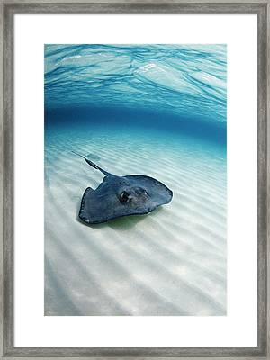 Southern Stingray Framed Print by Georgette Douwma