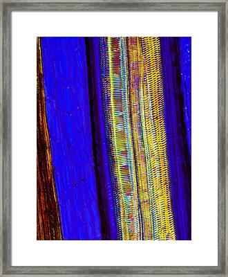 Fern Rhizome, Light Micrograph Framed Print by Dr Keith Wheeler
