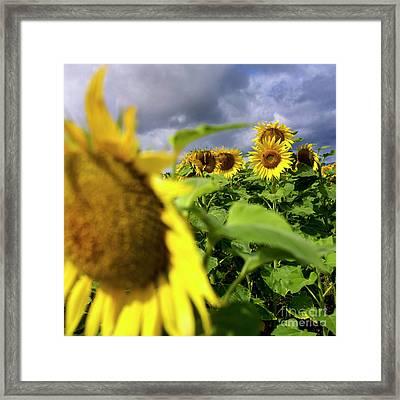 Field Of Sunflowers Framed Print by Bernard Jaubert