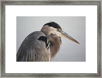 Great Blue Heron Framed Print by Paulette Thomas