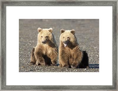 Grizzly Bear Ursus Arctos Horribilis Framed Print by Matthias Breiter