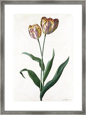 5 Tulip Tulip  Framed Print by Georg Dionysius Ehret