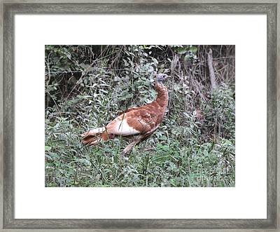Wild Turkey Framed Print by Jack R Brock