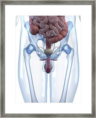Male Reproductive System, Artwork Framed Print by Sciepro