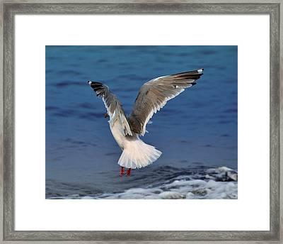 Seagull  Framed Print by Debra  Miller