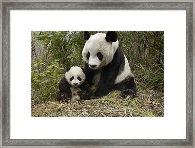 Giant Panda Ailuropoda Melanoleuca Framed Print by Katherine Feng