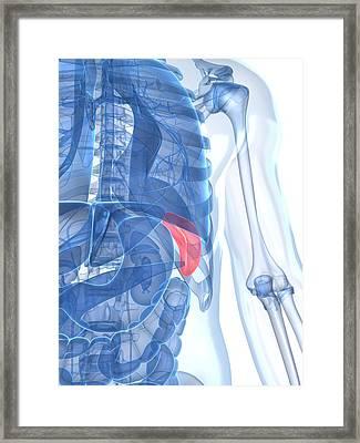 Healthy Spleen, Artwork Framed Print by Sciepro