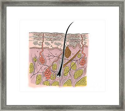 Illustration Of Skin Section Framed Print by Science Source