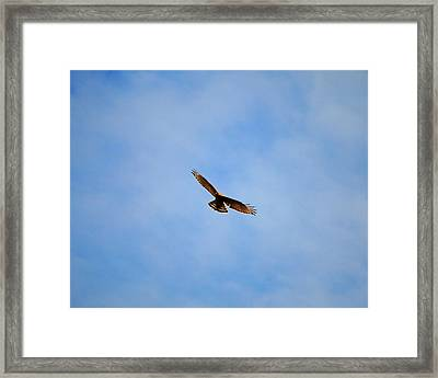 Red Shouldered Hawk In Flight Framed Print by Jai Johnson