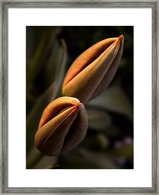 Tulips Framed Print by Odon Czintos