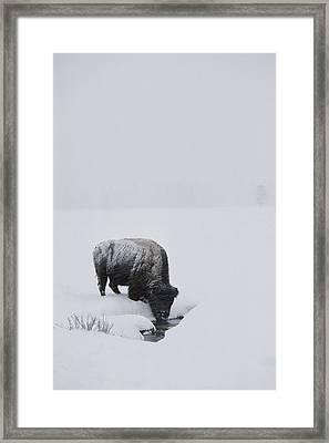 A American Bison Bison Bison Finds Framed Print by Tom Murphy